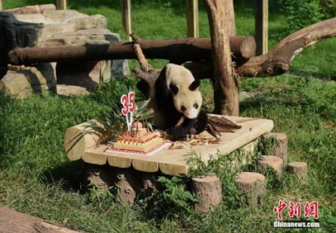 """9月16日,重庆杨家坪动物园为大熊猫""""新星""""举办了35岁生日会,吸引众多"""