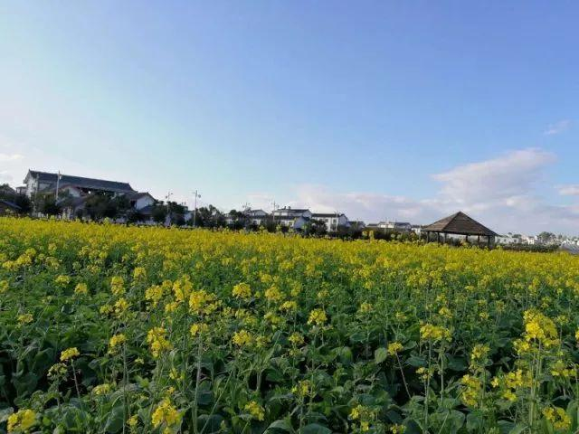 春讯来了, 蒙自尼苏小镇已被油菜花海包围, 快来疯拍!