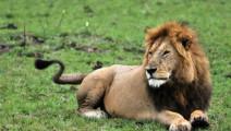 鬣狗捕食非洲角马失败,反而激怒雄狮被一口咬死