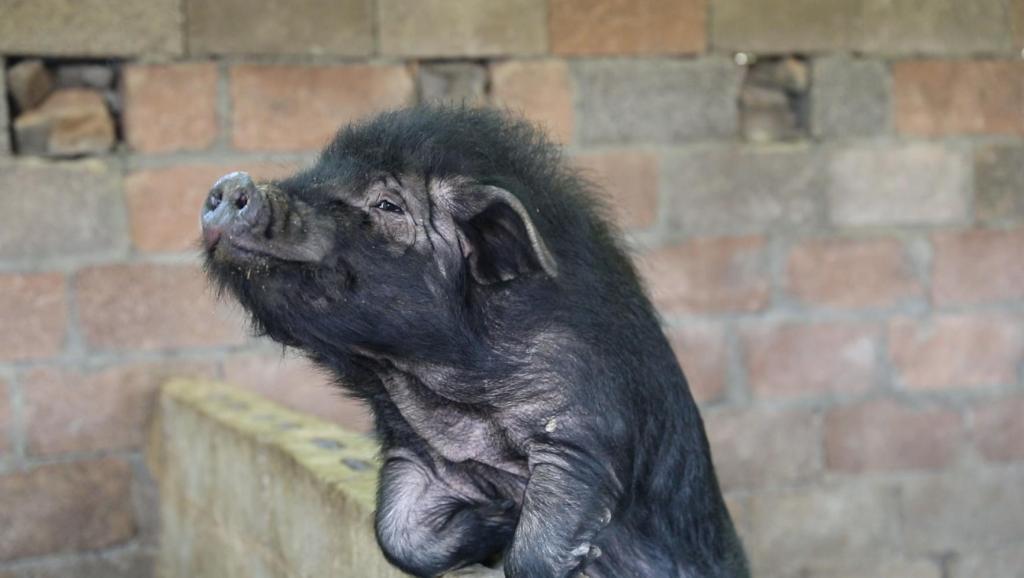 贫困村成立养猪合作社,农民用原生态黑猪肉制作腊肉