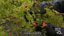 外国也有这种野果,看贝爷是怎么吃的!
