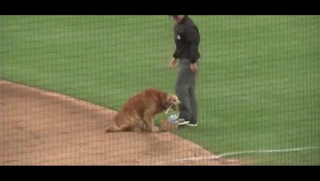金毛给棒球主人中场送水,步履优雅,又是别人家的狗狗