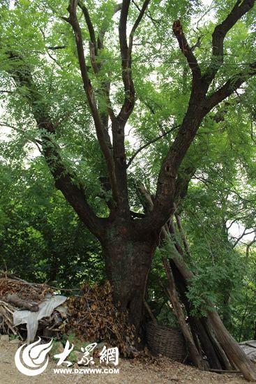窦家台子国槐裸露的树根
