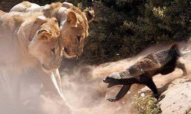 动物界的新霸主, 平头哥出现, 看来不是大型动物才能称霸