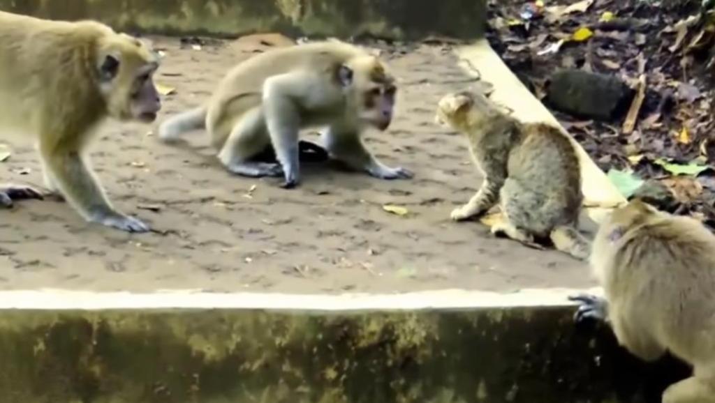 面对一群猴子的围攻,小猫咪毫不畏惧,最终逼退了敌人