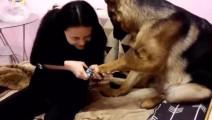 主人要给狗狗剪指甲,结果开始不到1分钟,狗狗想死的心都有了