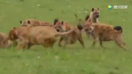 25只鬣狗围攻7只狮子 结果雄狮杀气腾腾冲入敌营立刻转败为胜