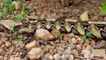 世界上毒牙最长的毒蛇加蓬蝰蛇,正面硬干眼镜王蛇不会吃亏!