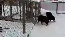 实战: 藏獒对抗野猪,实力与实力间的巅峰对决