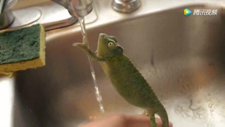 变色龙遇到水会变透明吗? 可爱变色龙第一次玩水
