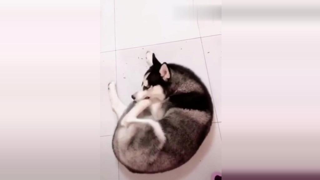 一只狗格分裂的二哈,像个孤独患者自我拉扯