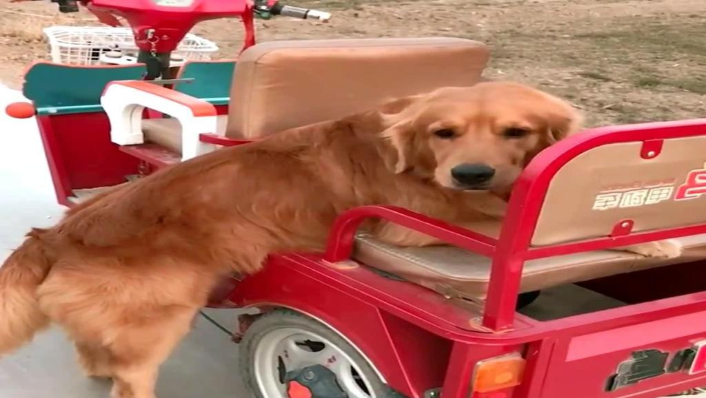 金毛轮胎过年吃胖几斤,上车都费劲了,妈妈配音好听