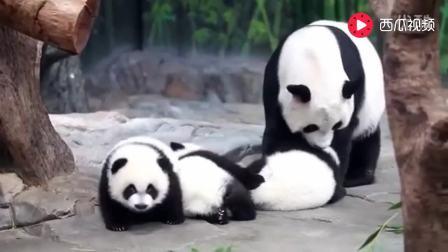 0231 超萌大熊猫!一起去熊猫基地吧!