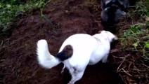 哈士奇和小伙伴挖地道,旁边的拉布拉多负责把风,分工明确