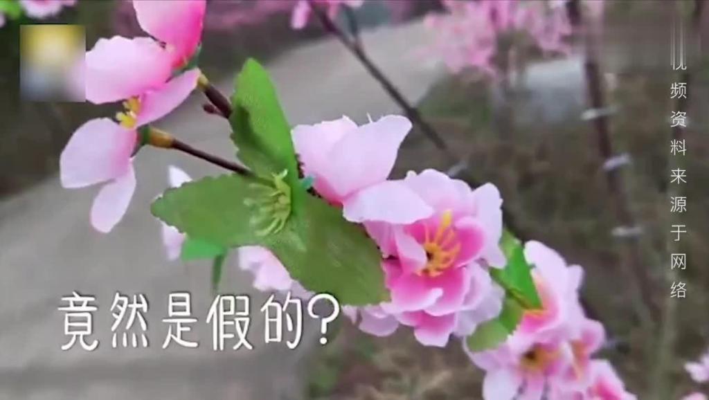 奇葩!重庆一景区桃花绽放 百亩全是塑料花