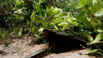 女孩用石板做了个捕蛇陷阱,看蛇自己往陷阱里钻