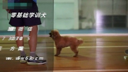宠物犬怎么样训练 如何训练边牧接飞盘 银狐犬怎么样训