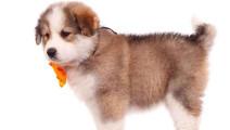小狗吹气球,真是萌萌哒!我好喜欢!