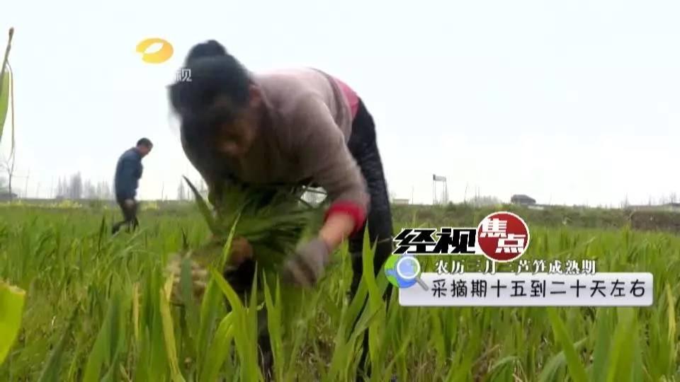 湘食那么美: 洞庭虫草-沅江芦笋