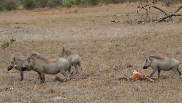野猪也会捕杀一只羚羊?一边的胡狼打着算盘,居然发生这幕!