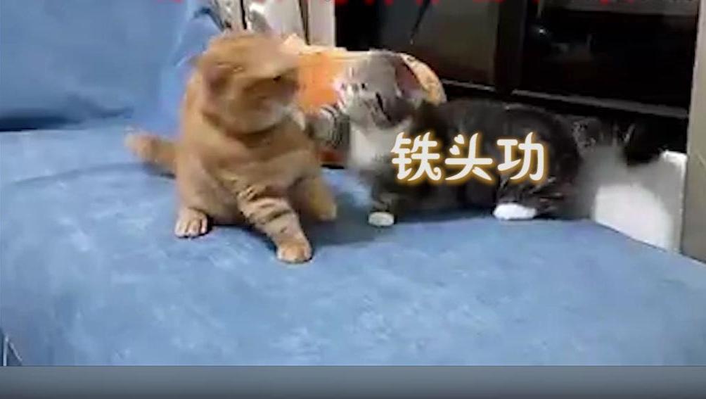 小短腿的悲伤: 猫咪打架胳膊够不到,只好用头顶