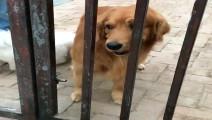 主人搁着铁门嘲讽金毛轮胎,没想到狗狗把大门打开了