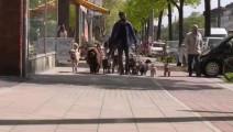 一到周末他就会带上自己收养的流浪狗狗出去散步,而那些獒犬和藏獒会在一旁默默守护