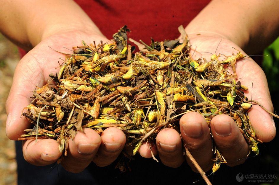 """4000亿蝗虫已""""兵临城下"""", 联合国发出警告, 青藏高原成最后防线"""