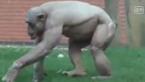 大猩猩健壮威猛似金刚,可能是练过健美吧,这一身的腱子肉,谁见谁跑啊