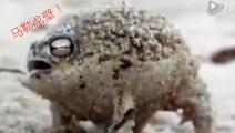 一只生气的雨蛙,他用声音攻击敌人!比如: 马勒戈壁!