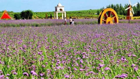 美爆了! 秦皇岛这片免费开放的70亩紫色花海, 你竟然还没去过?