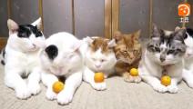主人分别给猫咪手上放了金桔,中间的那只最霸气