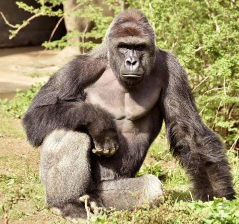为救幼儿 动物园枪杀猩猩惹争议