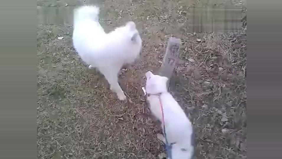 当白狐狸遇到萨摩耶