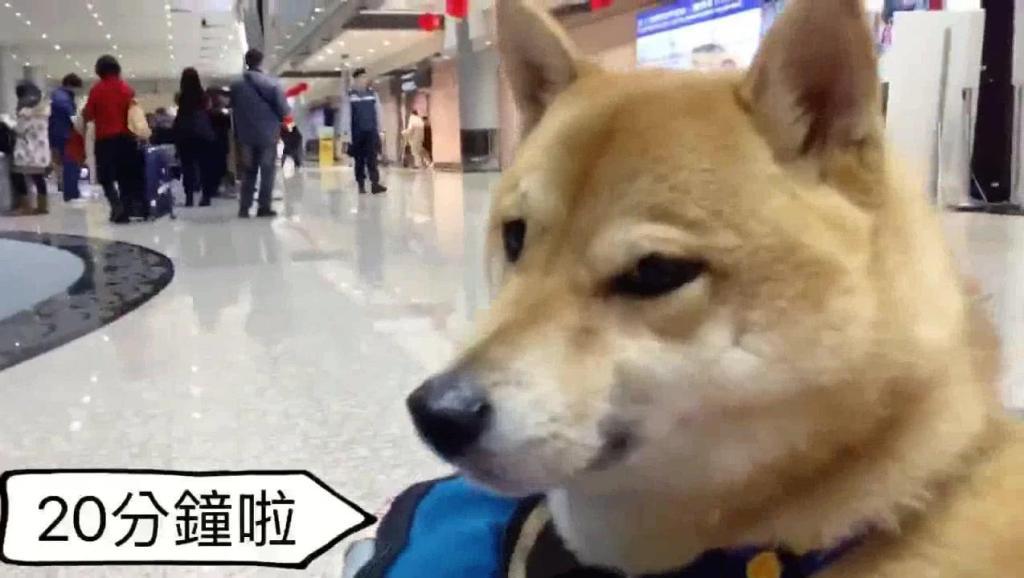 柴犬去机场接主人,等了老半天急得哇哇叫,萌翻了