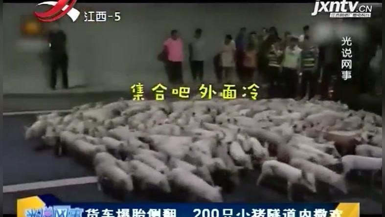 货车爆胎侧翻,200只小猪隧道内撒欢,萌的不要不要的