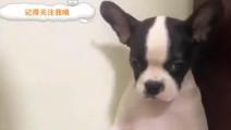 狗狗肚子太大,主人问你是不是怀孕了,狗狗的反应亮了