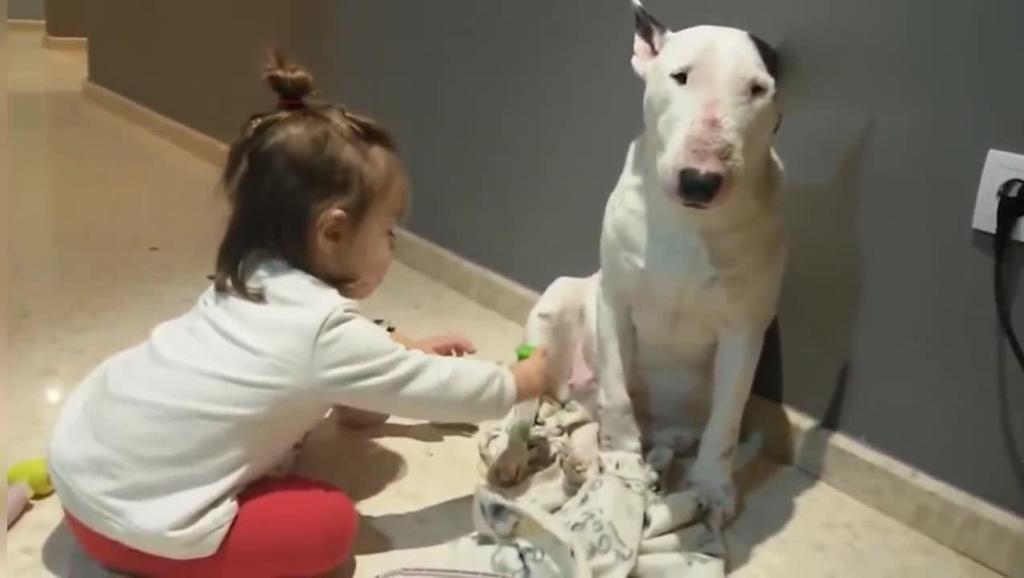 小女孩用听诊器帮斗牛犬看病,斗牛犬望着一旁的主人好无奈!