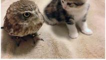 猫咪和猫头鹰好上了,日常相处太甜蜜、脸皮真厚!
