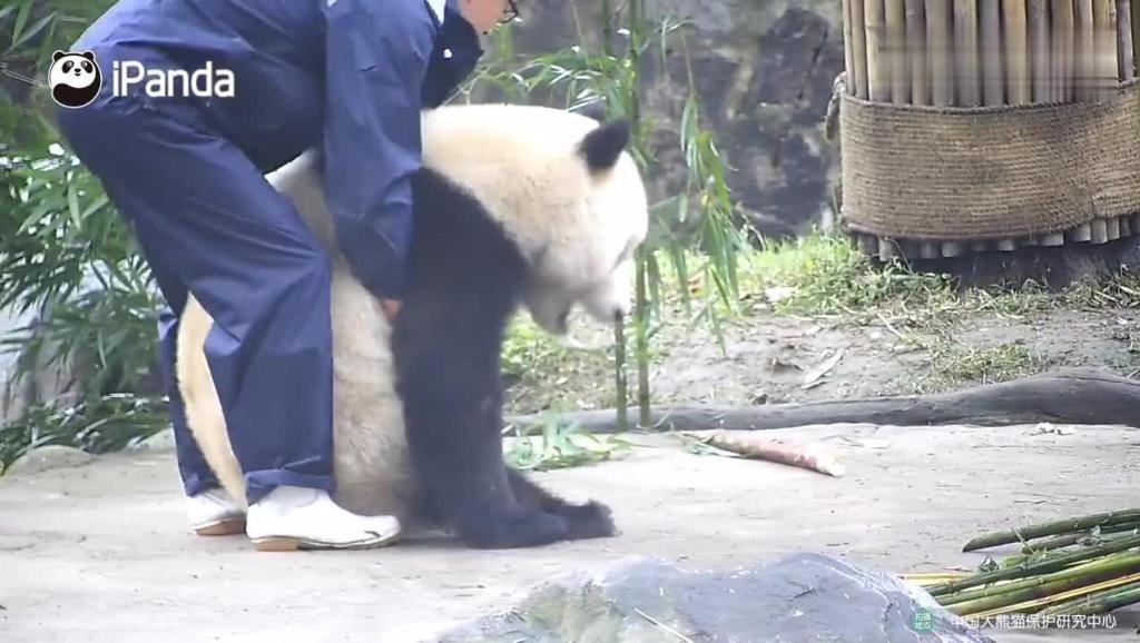 笑岔了!大熊猫吃东西呛着了,奶爸提熊又是拍打,简直操碎心了
