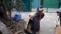 这个德牧在主人家后院是老大,只是因为只有他是公狗
