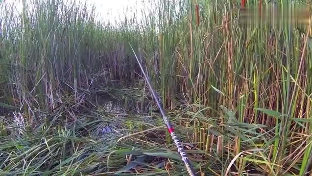钓鱼: 水草旁钓鱼,大鱼一条接一条的上钩