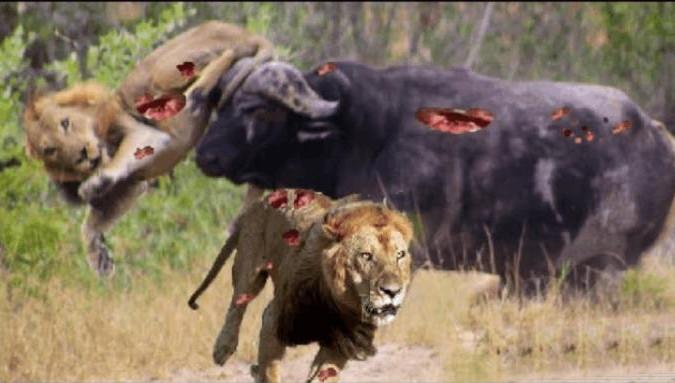 动物世界物竞天择,适者生存,狮子功击小野牛,母野牛拼命保护结局太