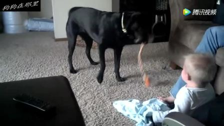 拉布拉多犬, 拿来自己的玩具给孩子玩, 一直在逗孩子开心