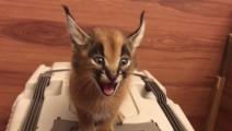 这只猫咪是来自外星的吧?