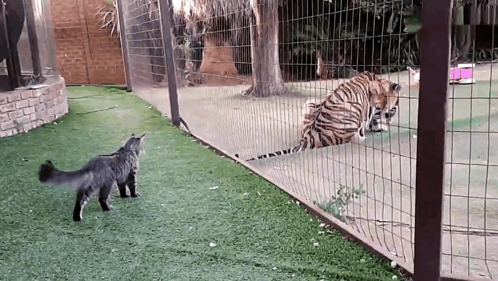 给老虎准备了美餐,猫咪发现后来冒险蹭吃的,喵星人: 老表让我吃口