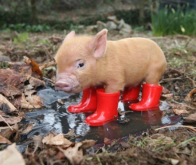 而且宠物猪很怕冷,在冬天到来的时候最好能记得给他们铺一个温暖的窝