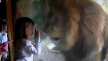 小萝莉隔着玻璃吻了一下狮子,不料竟是这样的结果