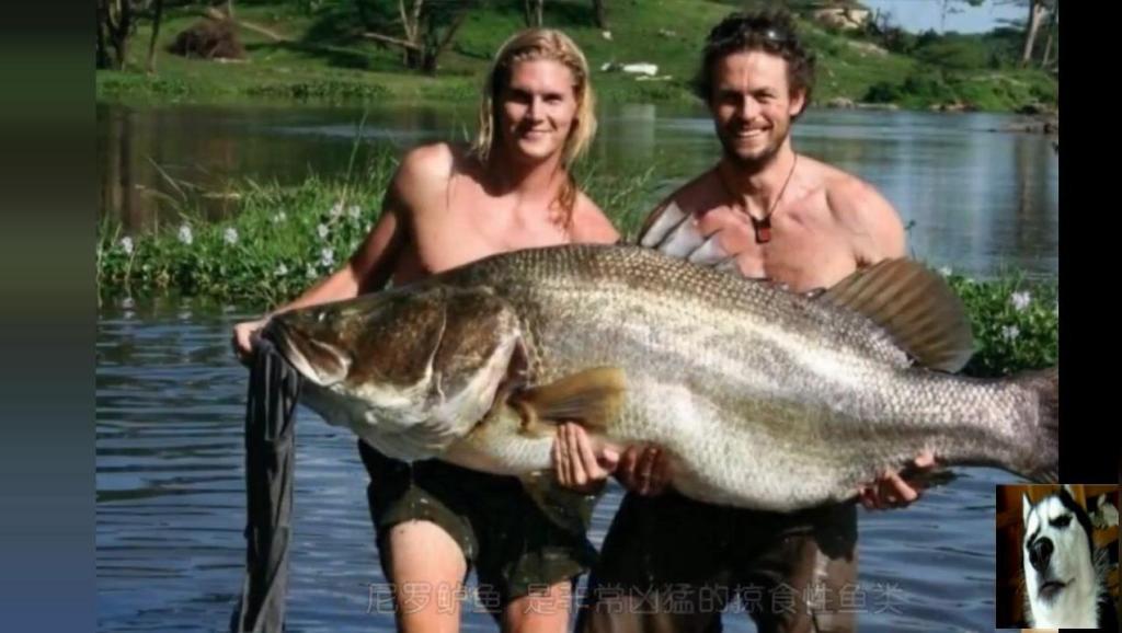 非洲最大的淡水鱼尼罗鲈鱼,全部出口欧洲,中国根本买不到!