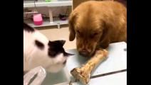 猫舔了一下金毛的骨头,下一幕金毛立刻变脸!